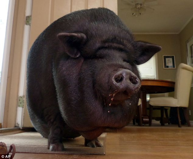 Great House_pig